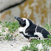 Small photo of Nesting African Penguin