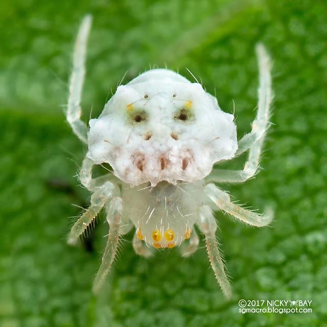 Juvenile orb weaver (Araneidae) - DSC_4073x