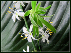 Flowers & plantlet of Chlorophytum comosum 'Variegatum' (White/White-edged Spider Plant, Variegated Spider Ivy, Ribbon/Airplane Plant)