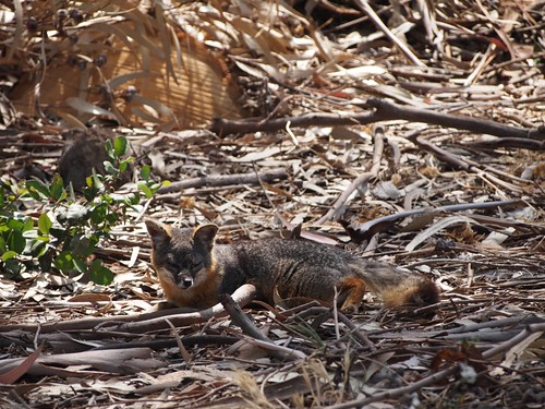 Trip to Santa Cruz Island with Friends of the Island Fox - 157
