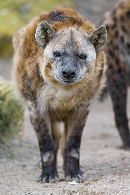 Walking fat hyena