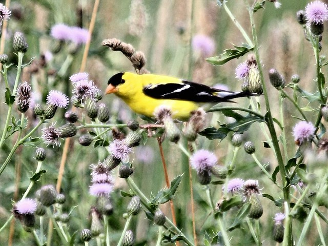 American Goldfinch in thistles 20130707