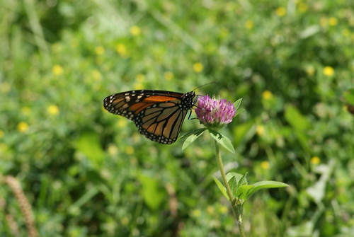 Monarch on Clover by susanvg