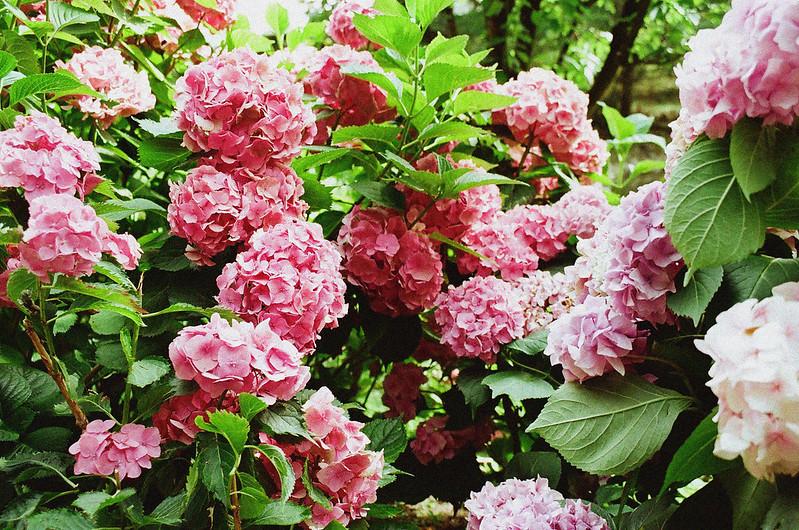 the summer of hydrangea