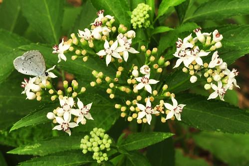 Tagfalter Schmetterling Falter Bläuling Faulbaum-Bläuling
