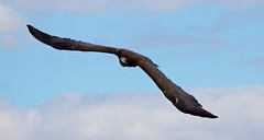Vulture In Flight 1