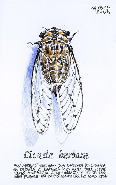 cicada barbara