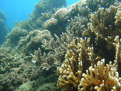 台東基翬的珊瑚狀況