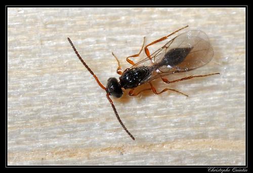 Diapriidae/Belytinae