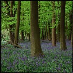 Dockey Wood Bluebells 2013