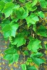 annual plant, leaf, grape leaves, fruit, food,