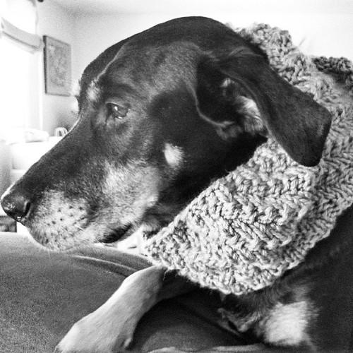 Lola, my cowl model #yarnpadc #knitstagram #dogstagram