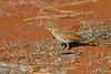 Fawn-coloured Lark (Mirafra africanoides)