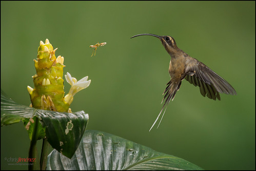 flower bird insect fly inflight costarica hummingbird feeding action ngc fulllength npc tropical sideview hummer heliconia tropics colibri lowland foraging oneanimal twoanimals phaethornislongirostris leastconcern colibrie chrisjimenez longbilledhermit