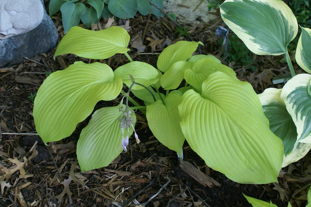 Hosta 'Lakeside San Kao' (2)(11&12)-001