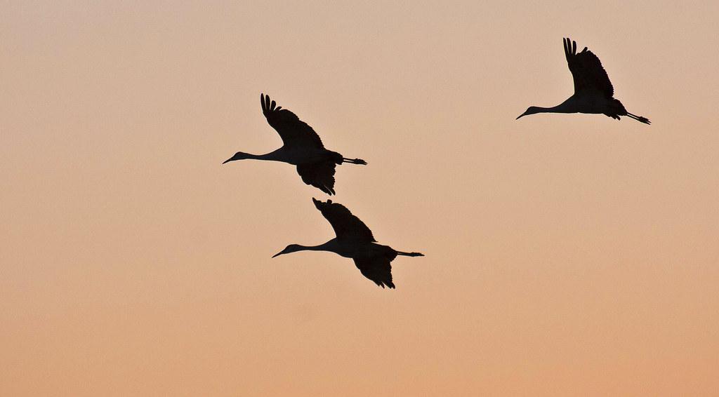 It Was Twilight And Sandhill Cranes >> Twilight Flight Sandhill Cranes Grus Canadensis Ladd Flickr