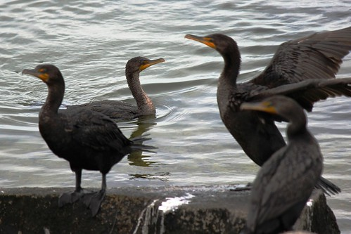 IMG_3626_Cormorants