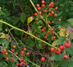 evergreen(0.0), acerola(0.0), flower(0.0), strawberry tree(0.0), crataegus pinnatifida(0.0), aquifoliaceae(0.0), schisandra(0.0), rowan(0.0), aquifoliales(0.0), hawthorn(0.0), lingonberry(0.0), shrub(1.0), berry(1.0), plant(1.0), produce(1.0), fruit(1.0), food(1.0), rose hip(1.0),