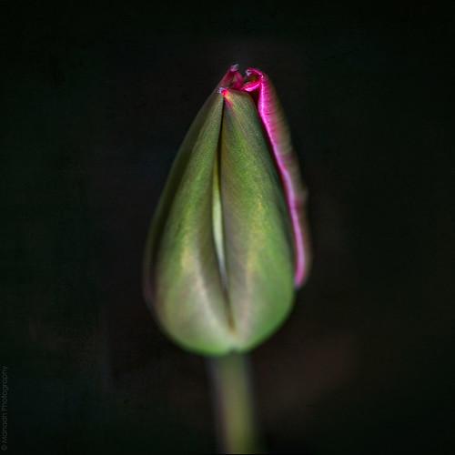 Magenta tulip // 05 04 14