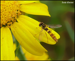 Long fly on golden flower
