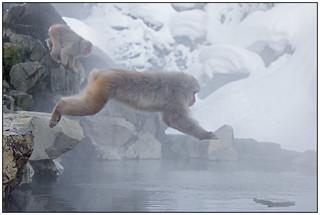 Snow Monkeys, Macaca (Macaca fuscata) (Japanse makaak) in het Jigokudani Monkey Park, nabij Nagano in Japan ….