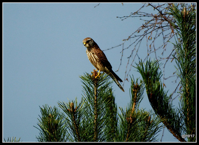 Falcon Kestrel