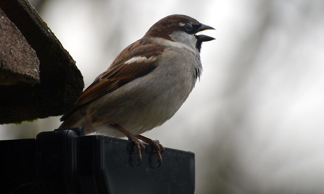 House Sparrow  (17) Male singing its head of
