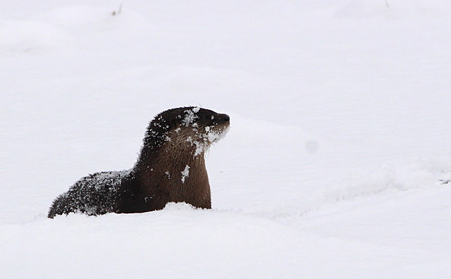 river otter snow