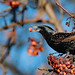 Starling. HUOE2001 by Peacefulbirder