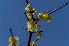 山の花道・蠟梅園・・・まだ綺麗に咲いていた