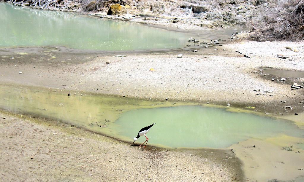 waimangu-bird