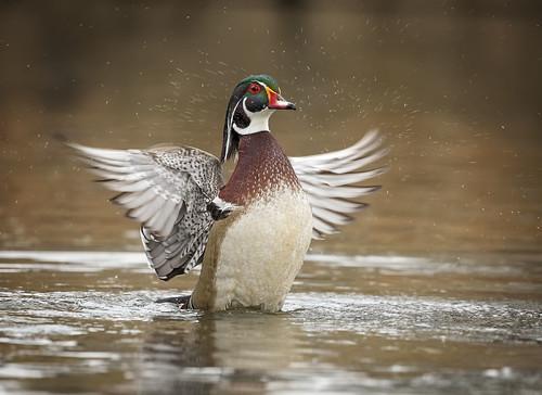 Flap Splash... {Explored}