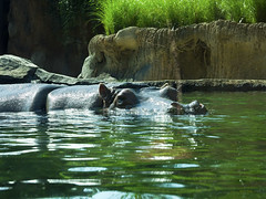 Memphis Zoo 08-31-2016 - Hippopotamus 10