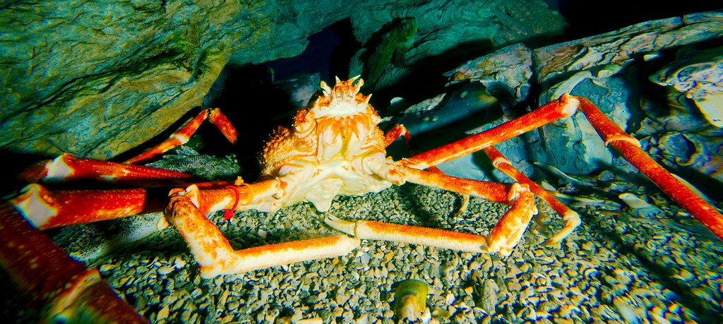 Giant Spider Crab_2
