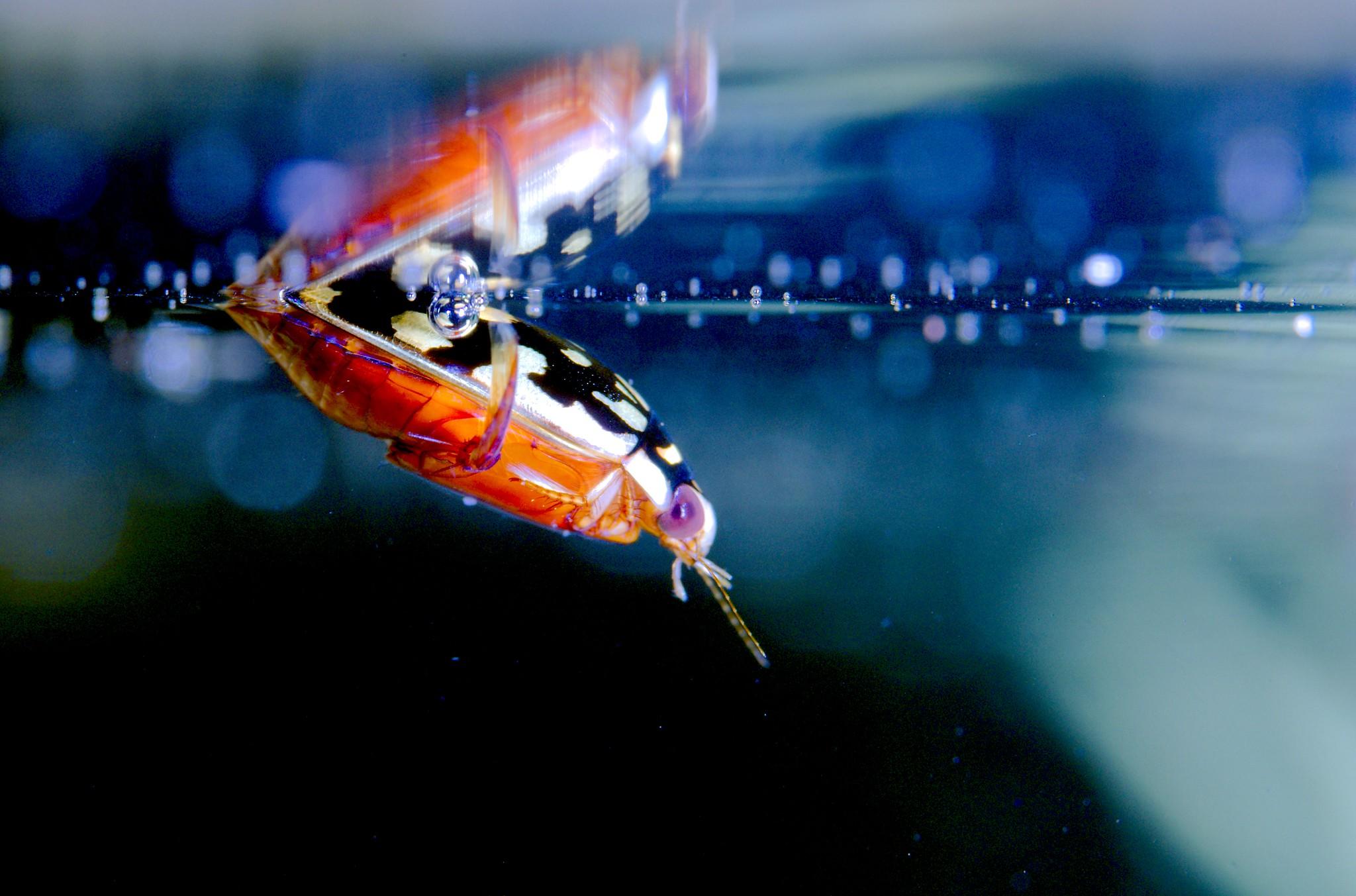 Diving Beetle_9