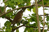 Song thrush (Turdus philomelos) in the hedge