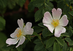 Dogrose flowers 120616 6586