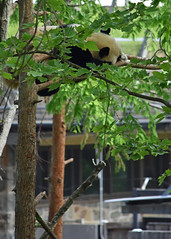Bei Bei napping in a tree