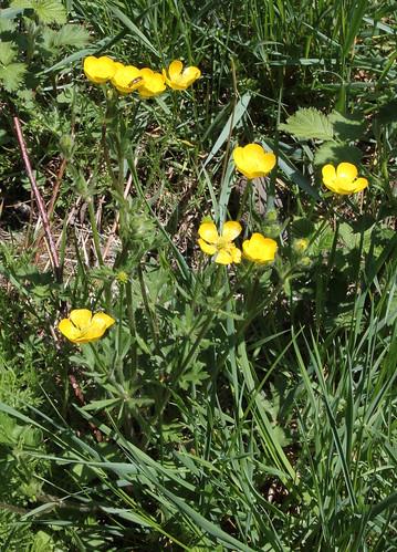 Ranunculus bulbosus - renoncule bulbeuse 34264512466_5e28e171f7