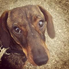 hound(0.0), puppy(0.0), redbone coonhound(0.0), dog breed(1.0), animal(1.0), dog(1.0), pet(1.0), snout(1.0), mammal(1.0), dachshund(1.0), coonhound(1.0),