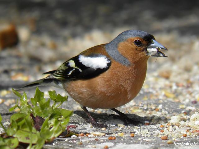 Male Chaffinch 1