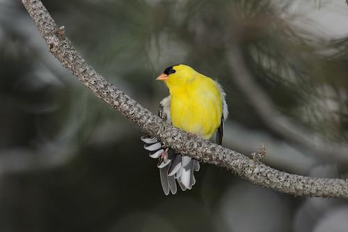 Goldfinch-45231.jpg