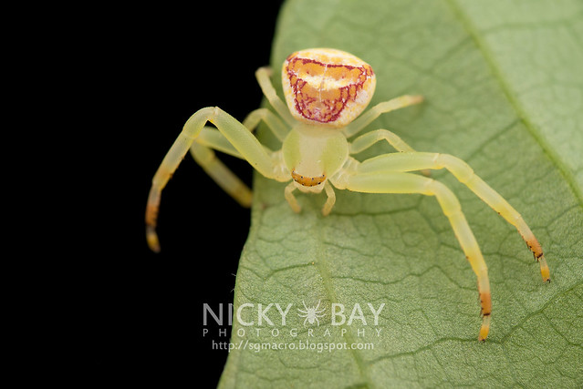 Crab Spider (Thomisidae) - DSC_7308