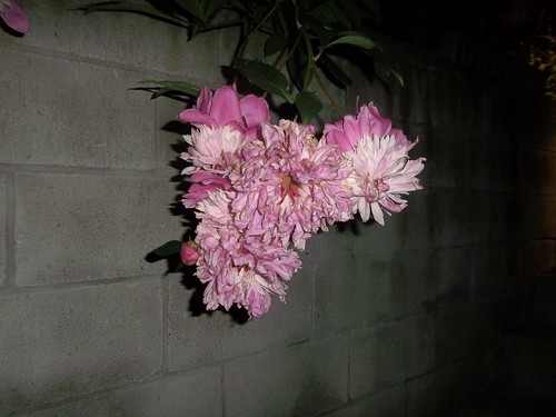 Peonies by night (1)