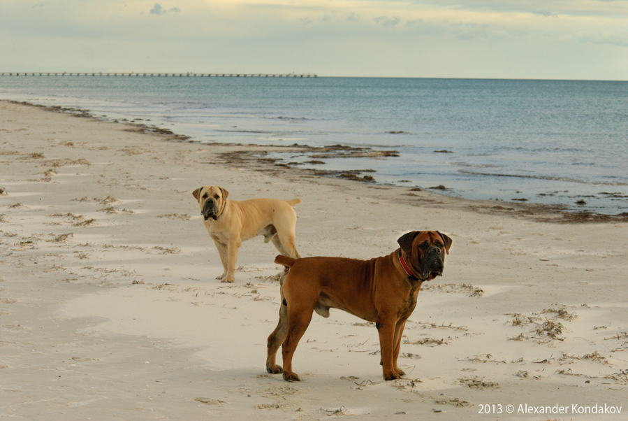 boerboels Robin&Slay