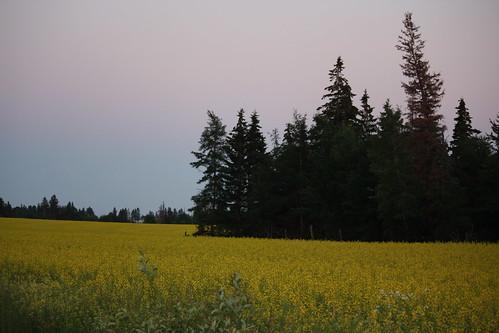 canada field yellow farm victoria farmland crop fields pei princecounty