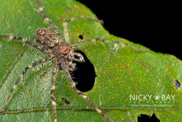 Huntsman Spider (Sparassidae) - DSC_0675