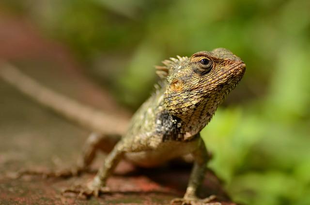 Lizard [Nikon][D7000][Tamron 90mm F 2.8][India]