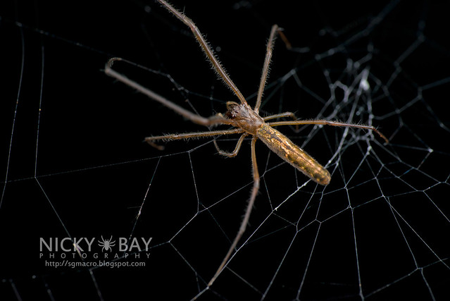 Big-Jawed Spider (Tetragnathidae) - DSC_3546