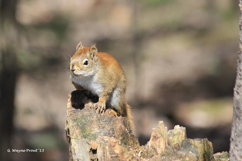 American Red Squirrel (Tamiasciurus hudsonicus) by Gerald (Wayne) Prout